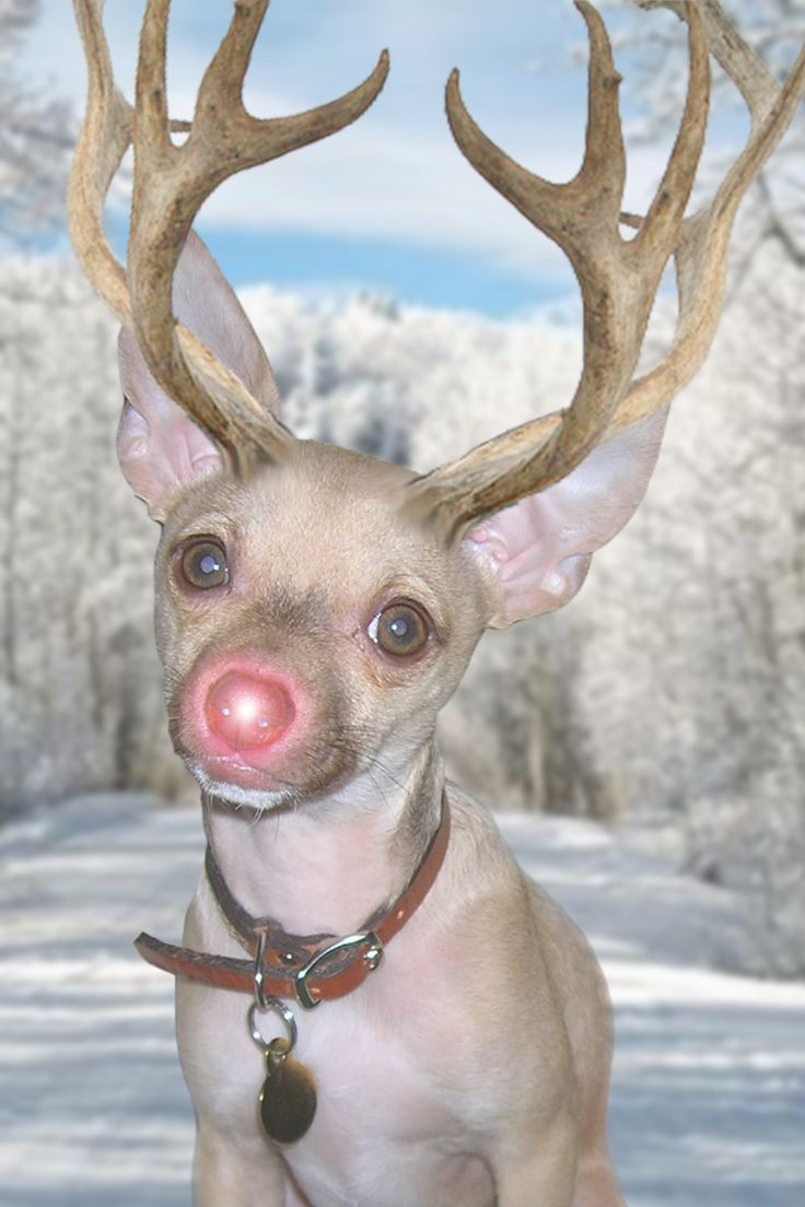 Our Dog Turned Reindeer Christmas Cards Chihuahuas