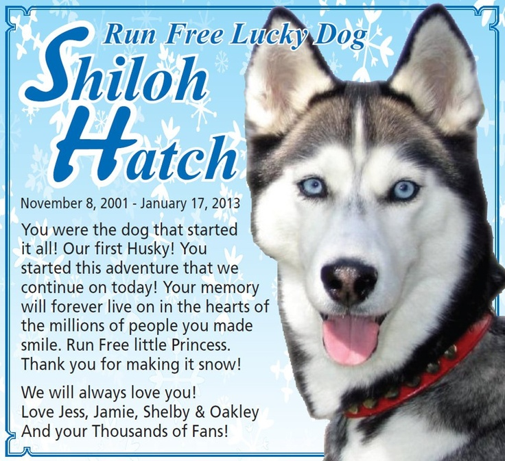 Shiloh From Gone To The Snow Dogs Passed Away Pets