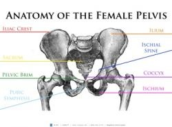 This Anatomy of the Female Pelvis poster provides a visual