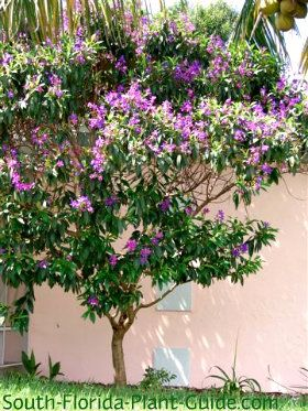 Tibouchina Tree I Want To Plant This In The Front By The