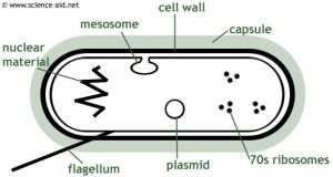 diagram of a bacterium including mesosome, plasmid, cell