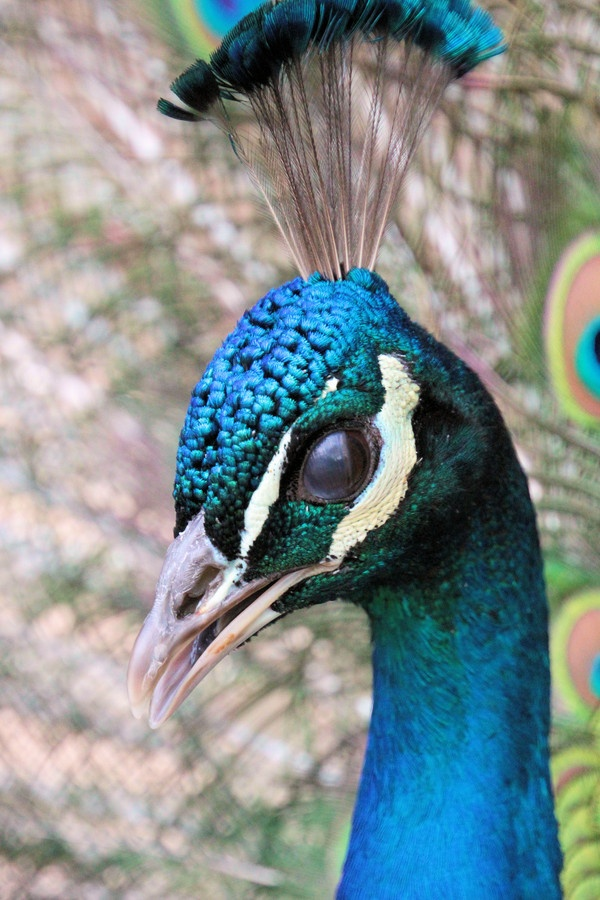 322 Best Images About Peacock On Pinterest