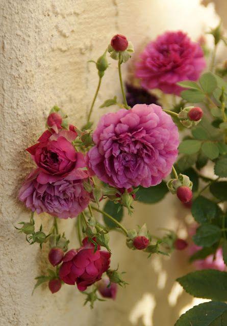 Sweet Chariot PolyanthaMiniature Rose Small purple