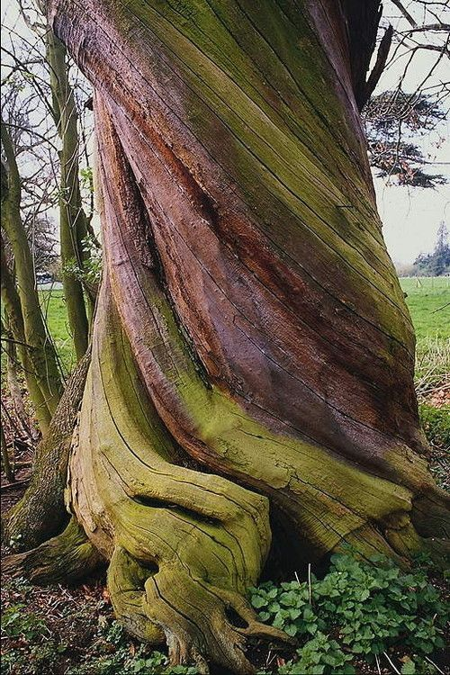 Tree Trunk Twisted By The Plant S Turning Towards Sunlight