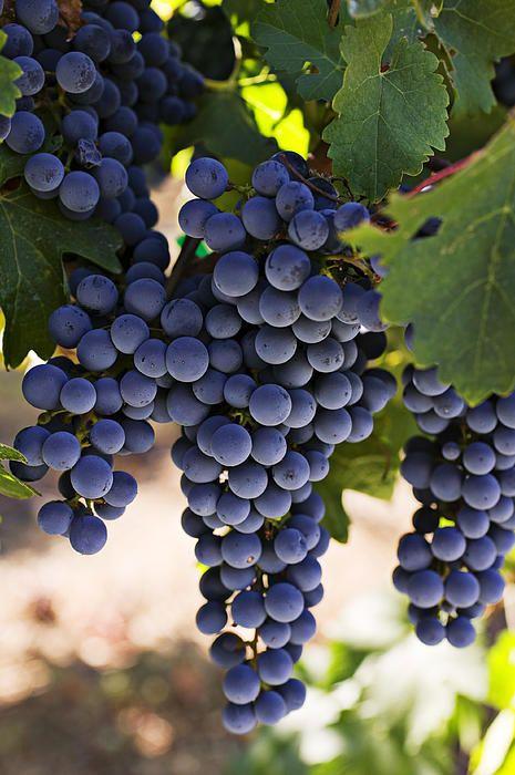 Sauvignon Grapes