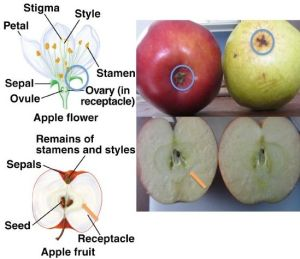 Apple development, from flower to fruit Blue circle