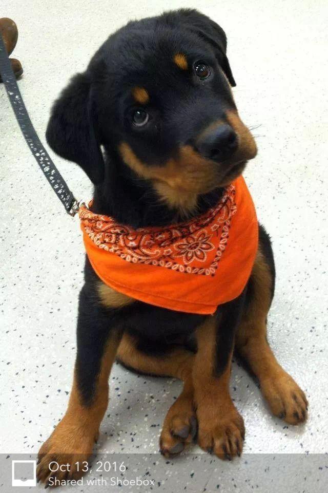 17 Best Ideas About Baby Rottweiler On Pinterest