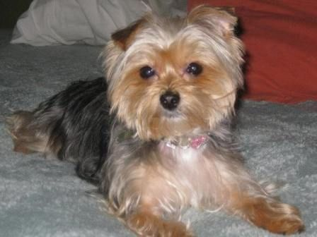 Shorkie Grooming Styles Pictures Httpwwwpic2flycom