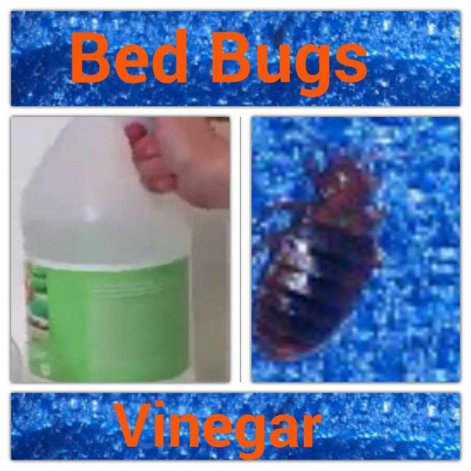Diy vinegar bed bug killer vinegar