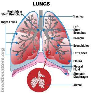 Lung Anatomy Diagram | What is COPD? | Breath Matters