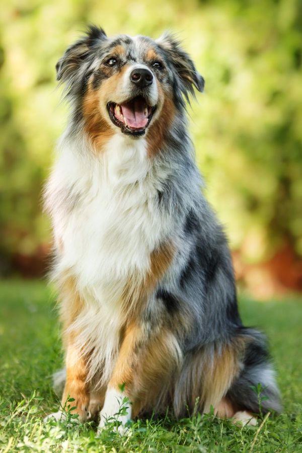 Australian Shepherd pure happiness by msnessix