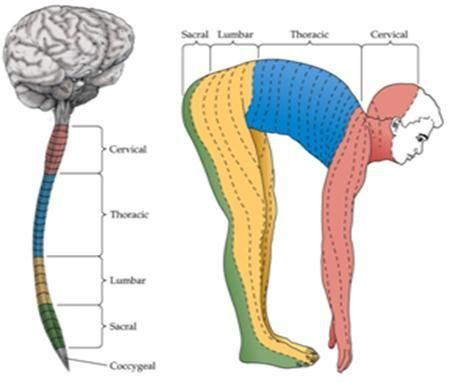 19 best images about Dermatomes, Myotomes And Lymph...OH ...