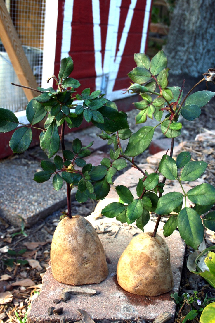 Grow rose cuttings in potatoes!