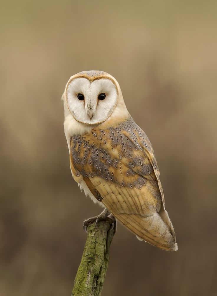 Barn Owl Portrait By Ken Broadmore Barn Owls Pinterest