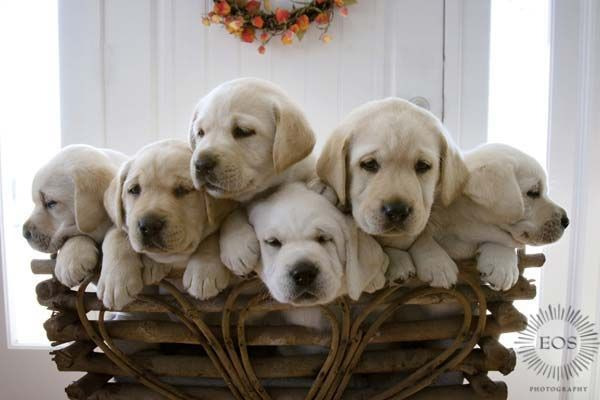 Baby Labradors Animals Pinterest Puppys Labradors