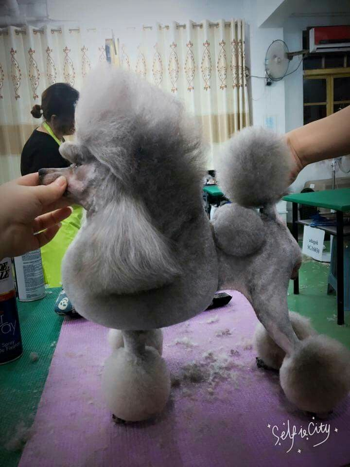 53 Best Images About Poodle Grooming Hairstyles On