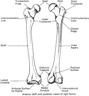 Bony landmarks of the femur  Basic | Human Anatomy | Pinterest | The o'jays