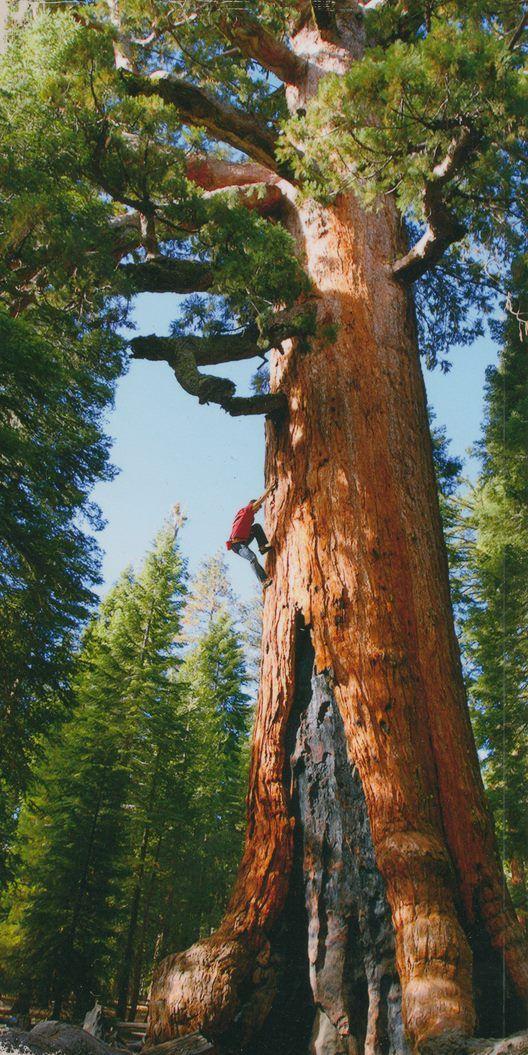 Giant Sequoia Sequoiadendron Giganteum Tree California