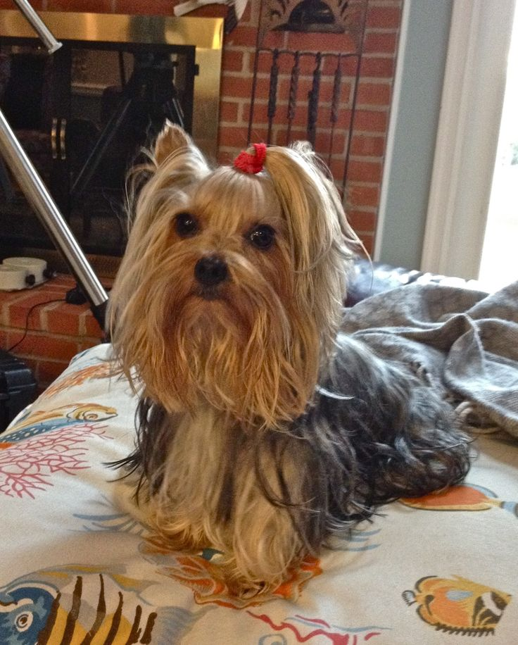 14 Best Images About Yorkie Haircuts On Pinterest Best