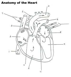 structure of the heart worksheet  Google Search