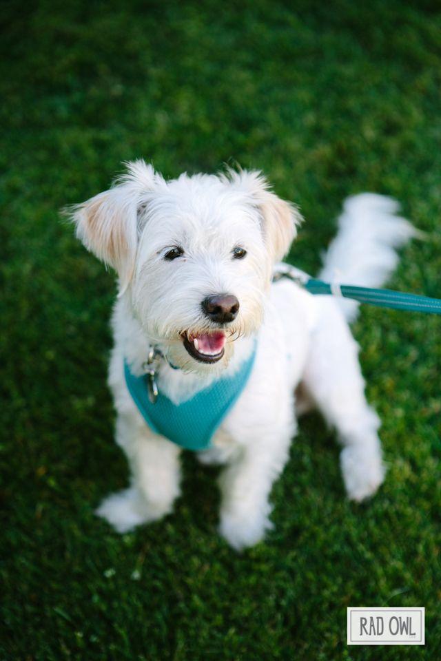 Albert The Doggie Westie Jack Russell Terrier Mix