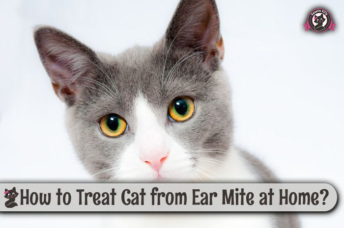 ... to Treat Cat from Ear Mite at Home http://www.sweetiekitty.com/cat