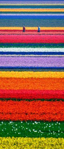 Rainbow dutch flowers