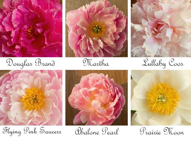 Peonies-wedding-flowers-romantic-for-bridal-bouquet-light