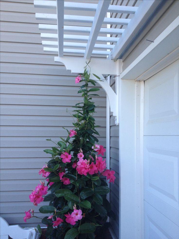 Arbor Over Garage Door With Mandevilla Vine Completed Projects Pinterest Minis Garage And