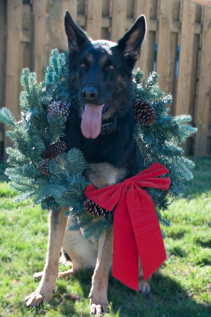 17 Best Ideas About Dog Christmas Pictures On Pinterest