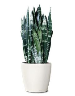 Image result for snake plant