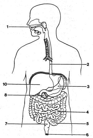 http:anatomybodyblogimages3102blankdigestive