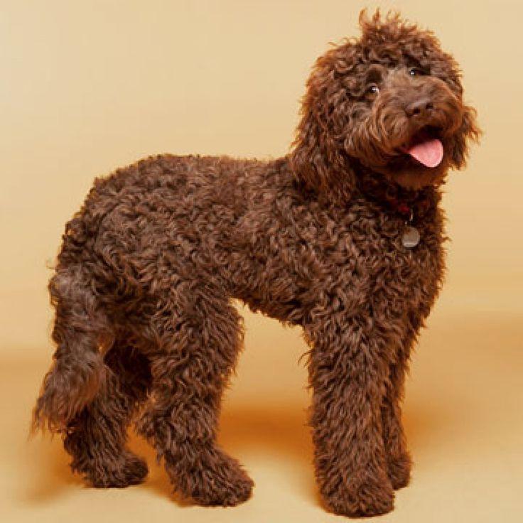 Labradoodles Are A Cross Between A Labrador Retriever And
