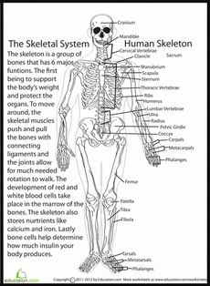 Human Skeletal System   Anatomy, The o'jays and Worksheets