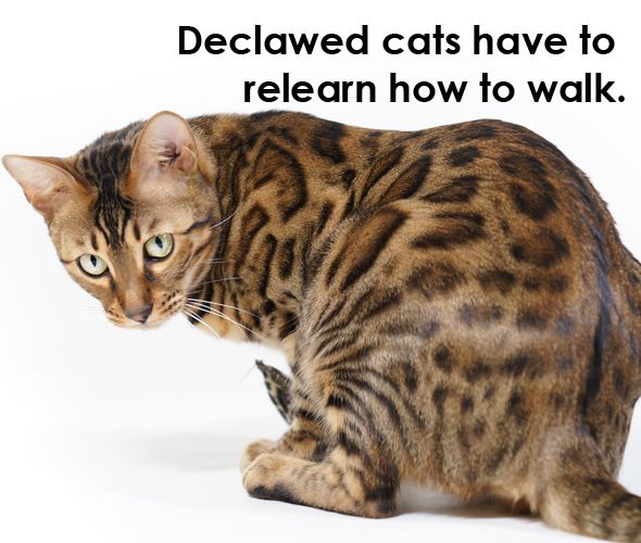 Bengal Cat T Your For The Best Nutrition