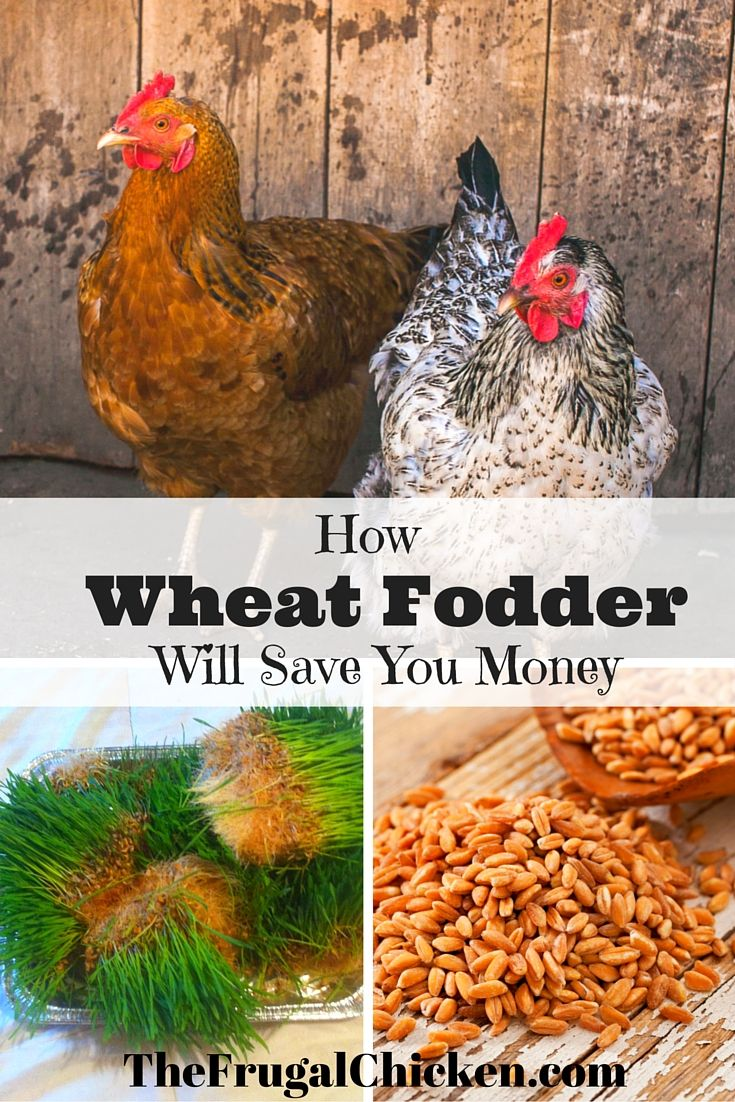 Growing Fodder For Chickens Means Healthier Hens Read