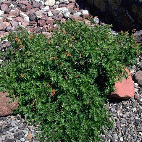 115 best images about Native New Mexico Plants on Pinterest