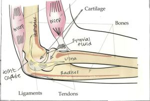 bones joints | Labelled diagram of a human elbow