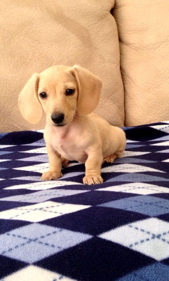English Cream Mini Dachshund Dogs And Puppies