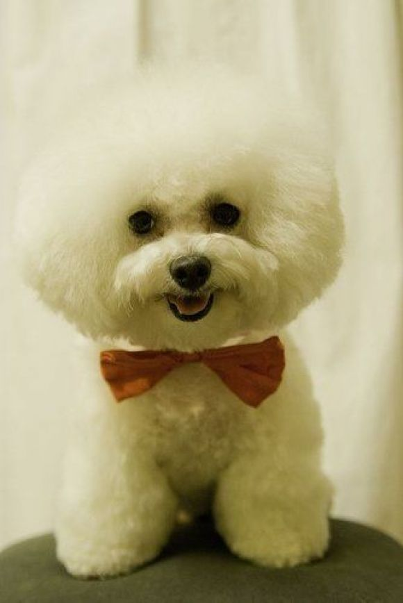 Frise Cutest Paw Bichon Happiness Pinterest Chang