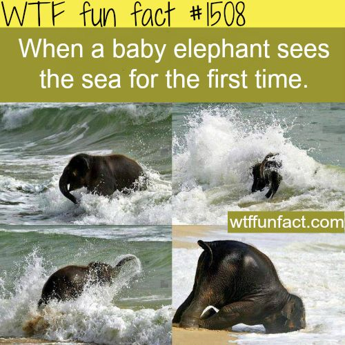 baby elephant WTF FUN FACTS HOME / See MORE TAGGED/ Animals FACTS