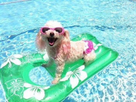Image result for poodles in the pool