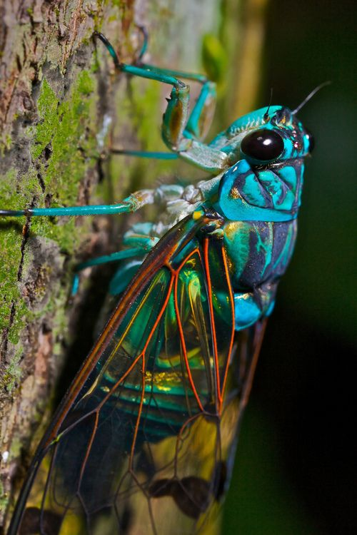 turquoise cicada  I might as well never look at another bug again in my life bec