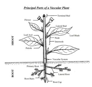 Principal Parts of a Vascular Plant | Diagrams for