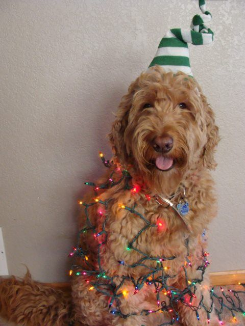 739 Best Images About Oodles Of GoldenDoodles On