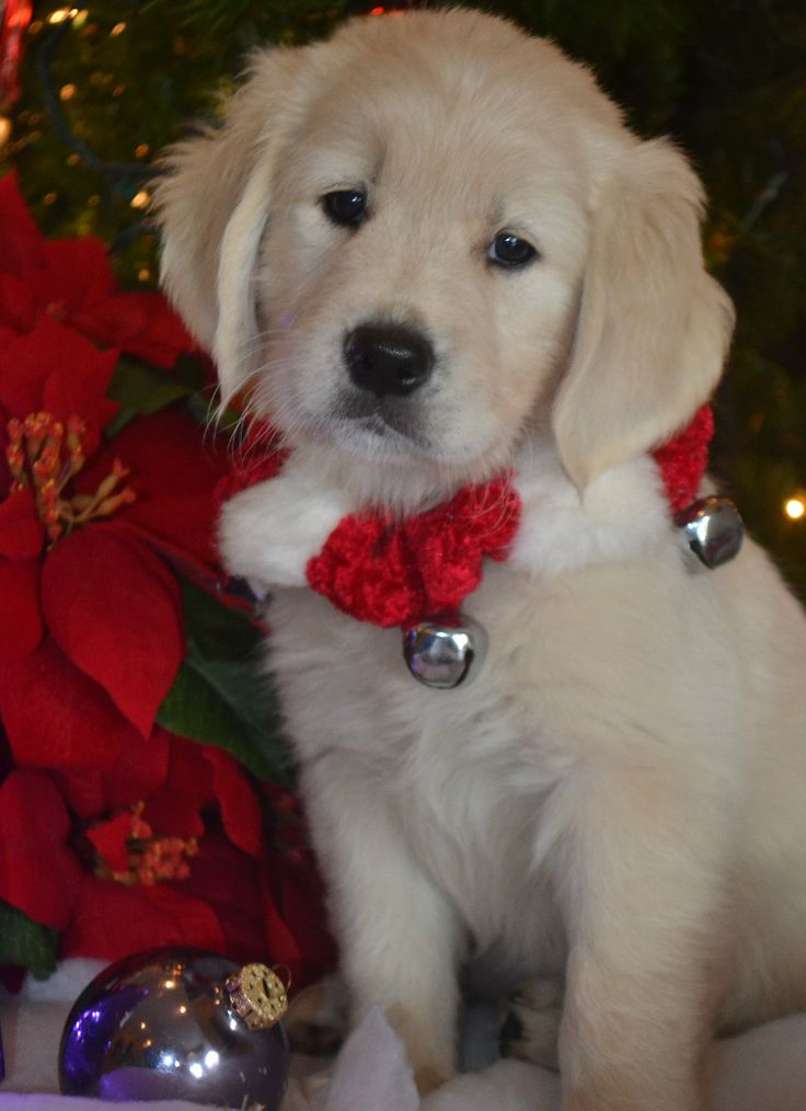 559 Best Christmas Pets Images On Pinterest
