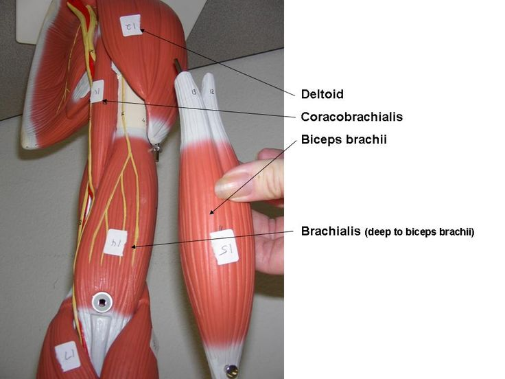 Human Muscles Labeled Arm