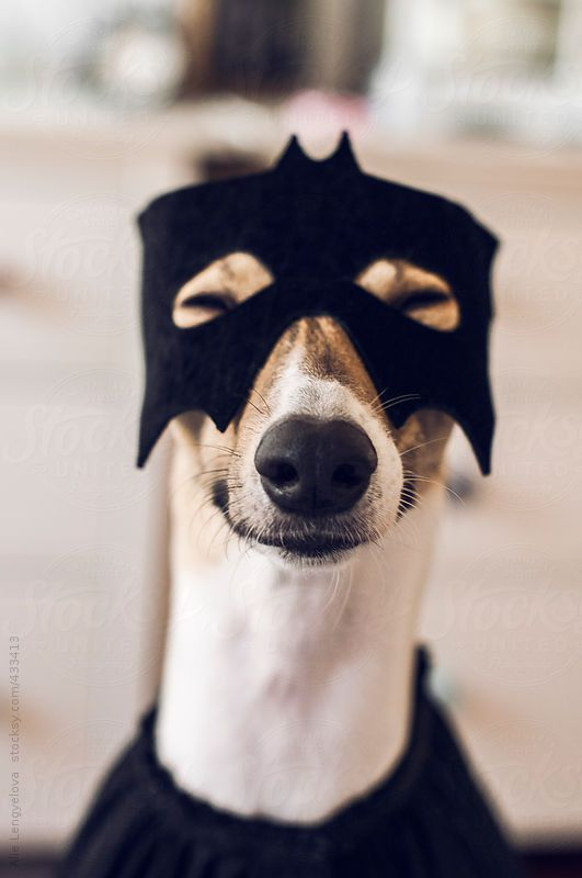 Happy Dog Dressed As Superhero For Halloween greyhounds and