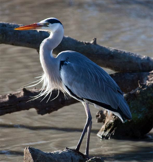 17 Best Images About Czapla Siwa Blue Heron On Pinterest