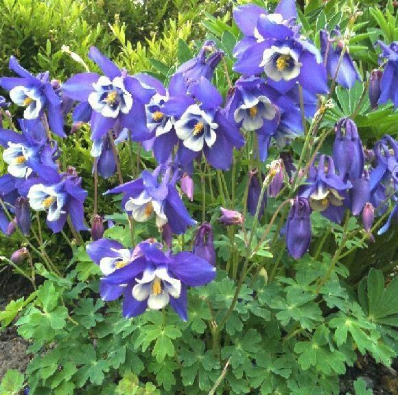 Rocky Mountain Columbine Blue Star... | Flowers ...